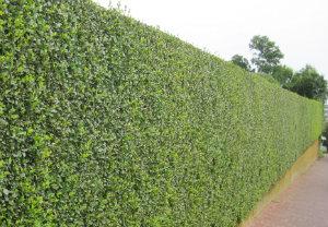 hedge-cutting-maintenance-brockley